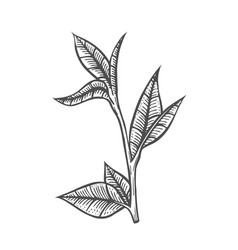 Sketch branch of leaves vector