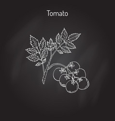 tomato branch with fruits vector image