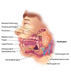 Parotid gland vector image vector image