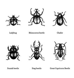 Beetles on white background drawn vector