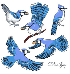 Set blue jays isolated on a white background vector
