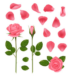 pink roses buds and petals beautiful romantic vector image