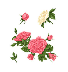 Set of pink and white roses bouquets flowers and vector