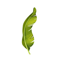 Bright green curved banana leaf with cross veins vector