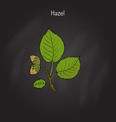Hand drawn hazelnut branch vector