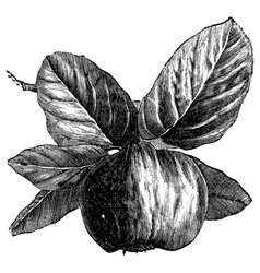 Quince vintage engraving vector image