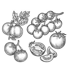 set tomato sketches on branch or stem vector image