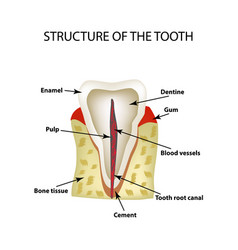 the anatomical structure of the tooth infographics vector image