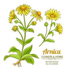arnica set vector image