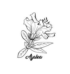 Azalea ericaceae japonica flower ink pen sketch vector