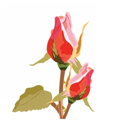 Delicate rose flower buds isolated vector