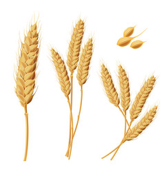 Wheat sprouts grains wheat vector