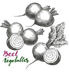 beet vegetable set detailed engraved vintage vector image