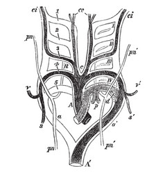 Aortic arches in a mammal vintage vector
