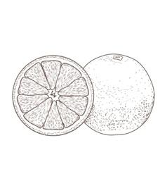 Sliced orange fruits vector image
