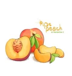ripe peach fruit vector image vector image