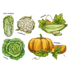 sketch of napa cabbage squash and cauliflower vector image