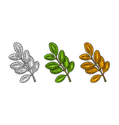 acacia leaf spring green and autumn orange vector image