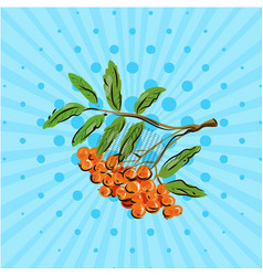 Bunch rowan berries on blue bakground vector