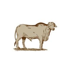 Brahman bull drawing vector
