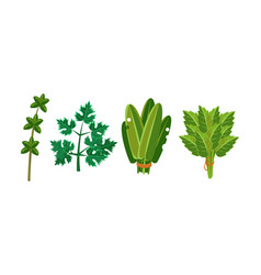 culinary herbs and salad leaves set sorrel vector image