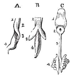 Development of respiratory organs vintage vector