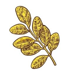 Acacia leaf color vintage engraved vector