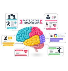 functional areas human brain diagram vector image