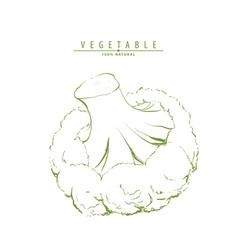 green fresh broccoli vector image