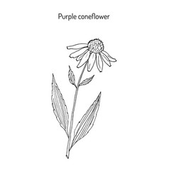 purple coneflower echinacea purpurea medicinal vector image