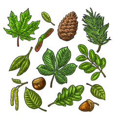 Set leaf acorn chestnut and seed vintage vector