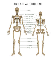 skeleton differences image vector image