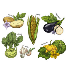 sketch of corn and potato kohlrabi and eggplant vector image