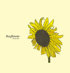 sunflower set of hand drawn sunflowers vintage vector image