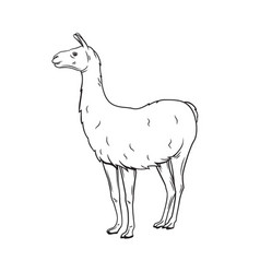 Outline lama icon vector
