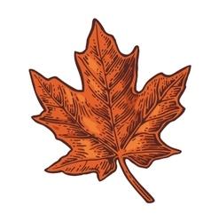 Maple leaf vintage color engraved vector image vector image