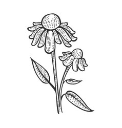 echinacea purpurea medical plant sketch vector image