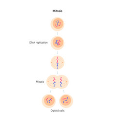 Mitosis cell division vector