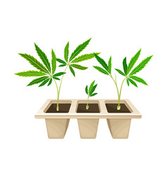Transplant hemp seedling growing in plastic pot vector