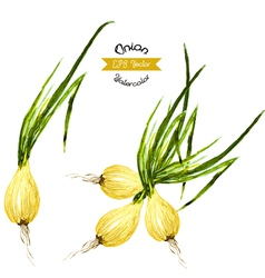 Organic onion watercolor vector image