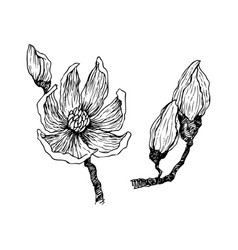 ink pencil the leaves and flowers of magnolia vector image