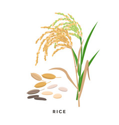 Rice cereal grass and grains - botanical vector
