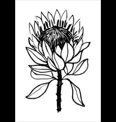 Ink hand drawn protea flower black vector