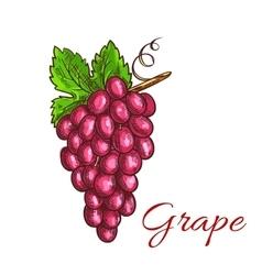Bunch of pink grape fruit sketch for drinks design vector image