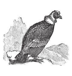 Andean Condor vintage engraving vector image vector image