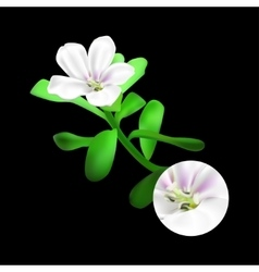 Bacopa monnieri plant on black background Brahmi vector image