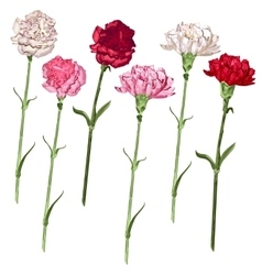 Set carnation flowers White pink and red vector