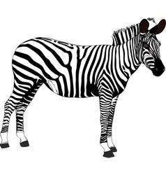 Zebra Tanzania Africa vector