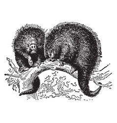 Prehensile tailed porcupine vintage vector