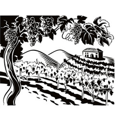 Vineyard with bunches of ripe grapes vector